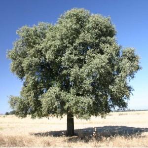 Quercus_ilex_rotundifolia